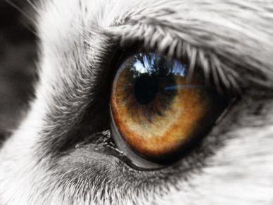 eye - wolf