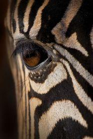 eye - zebra